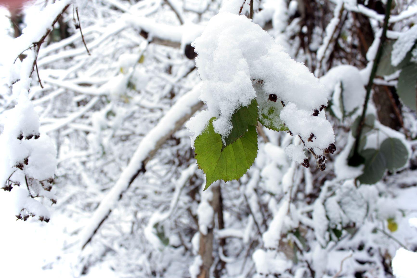 Federici green leaf